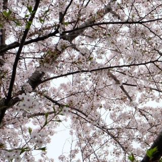 誰のために桜は咲く