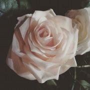 薔薇(期間限定フリーDL)